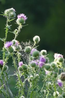 Les chardons attirent les chardonnerets... et les araignées, pour le plaisir des yeux
