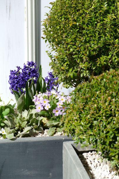 P1060250-Jardinière buis jacinthes