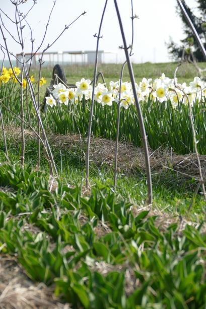 P1080075 - Champ avec tulipes et narcisses